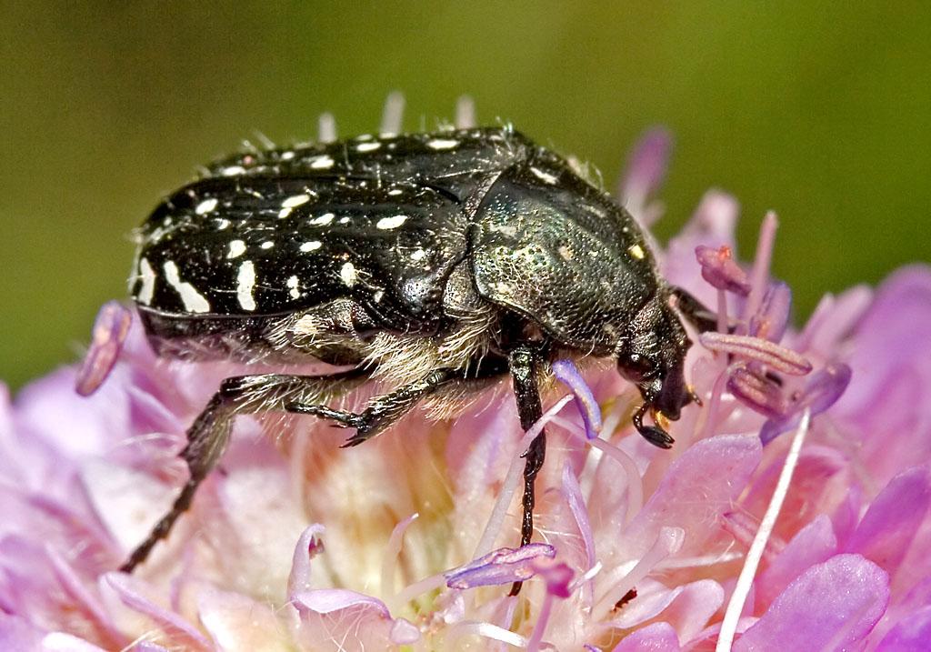 Oxythyrea funesta - Fam. Cetoniidae - Scarabaeoidea - Blatthornkäfer - scarab beetles