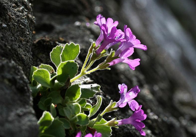 Primula hirsuta - Felsenprimel - Fam. Primulaceae - Felsspalten - rock crevices