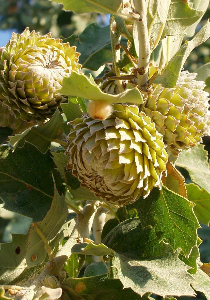 Quercus ithaburensis ssp. macrolepis - Walloneneiche - valonia oak -  - Wald - Forest