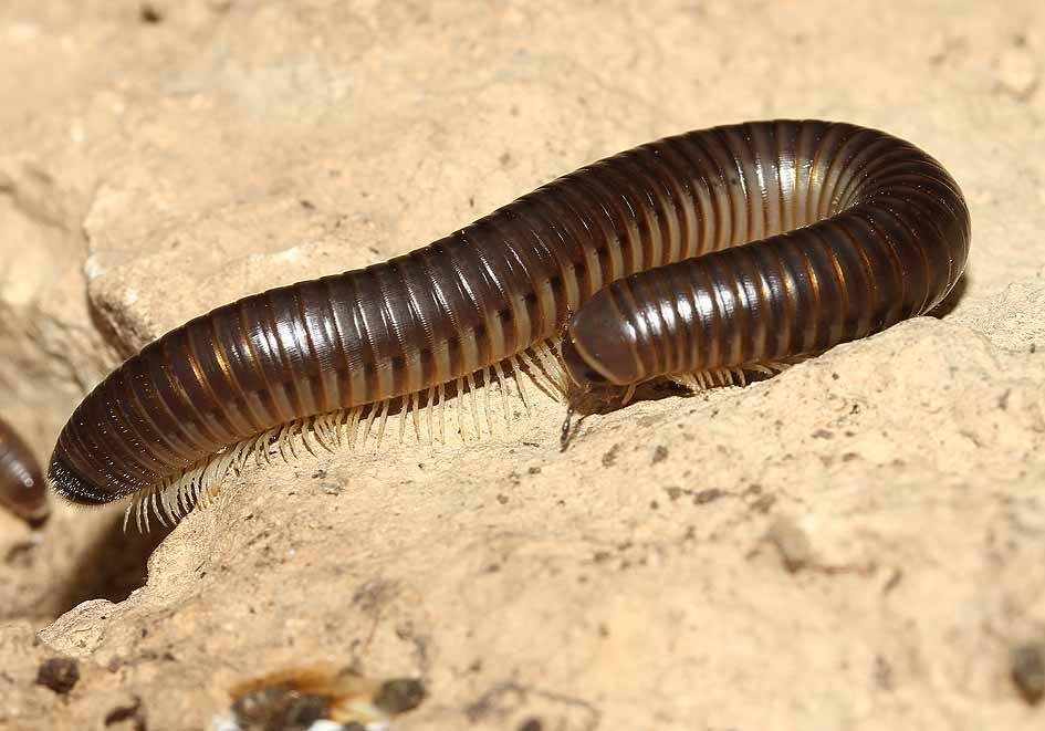 Pachyiulus varius - milliped - Samos - Myriapoda - Tausenfüßer - millipeds, centipeds