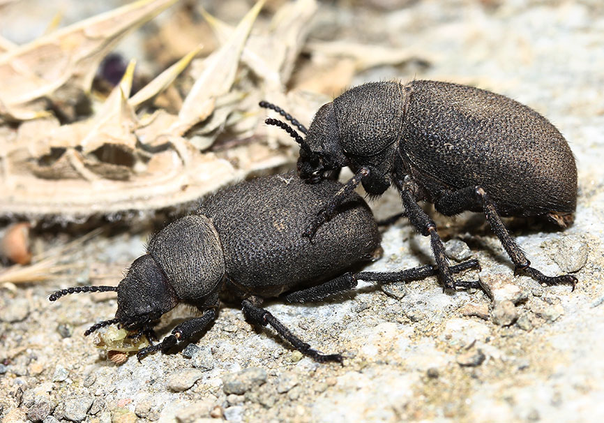 Pachyscelis villosa - Samos - Tenebrionidae - Schwarzkäfer - darkling beetles