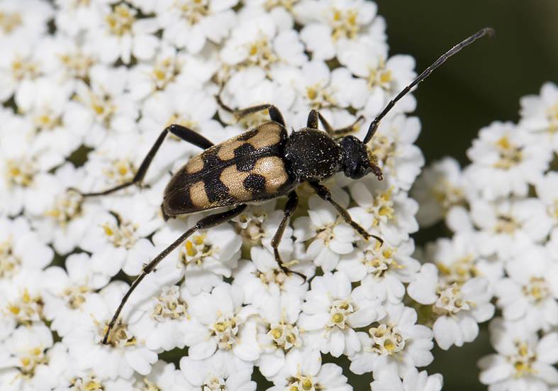 Pachytodes erraticus -  Fleckenbindige Halsbock - UFam. Lepturinae  -  Zagori (Griechenland) - Cerambycidae - Bockkäfer - long-horned beetles