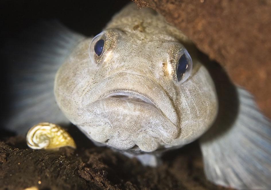 Padogobius martensis - Martens-Grundel - Alpenzoo - Perciformes - Barschartige