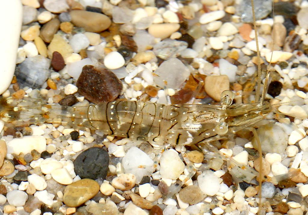 Palaemon elegans -  - Crustacea - Krebstiere - crustaceans
