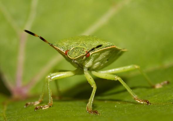 Palomena prasina - Grüne-Stinkwanze - Fam.  Pentatomidae - Baumwanzen - Heteroptera - Wanzen - true bugs