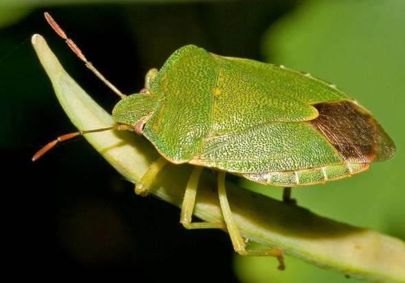 Palomena prasina - Grüne Stinkwanze - Fam.  Pentatomidae - Baumwanzen - Heteroptera - Wanzen - true bugs
