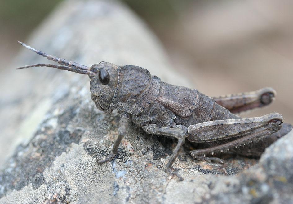 Orchamus yersini - Steinschrecke - Fam. Pamphagidae  -  Samos - Caelifera - Kurzfühlerschrecken - grasshoppers