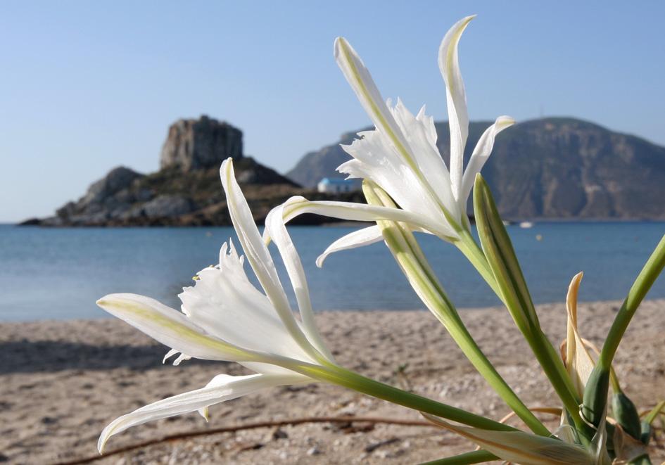 Pancratium maritimum Dünen - Trichternarzisse - sea daffodil -  - Saline Lebensräume - saline environments