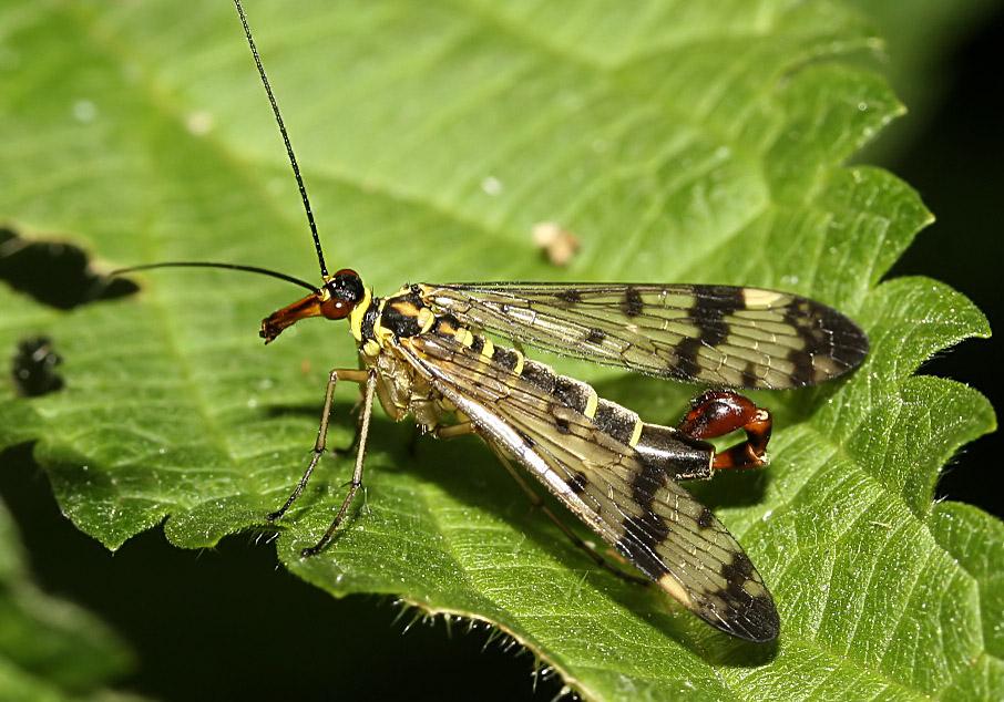 Panorpa  communis - Gemeine Skorpionfliege -  - Mecoptera - Schnabelfliegen - scorpionflies