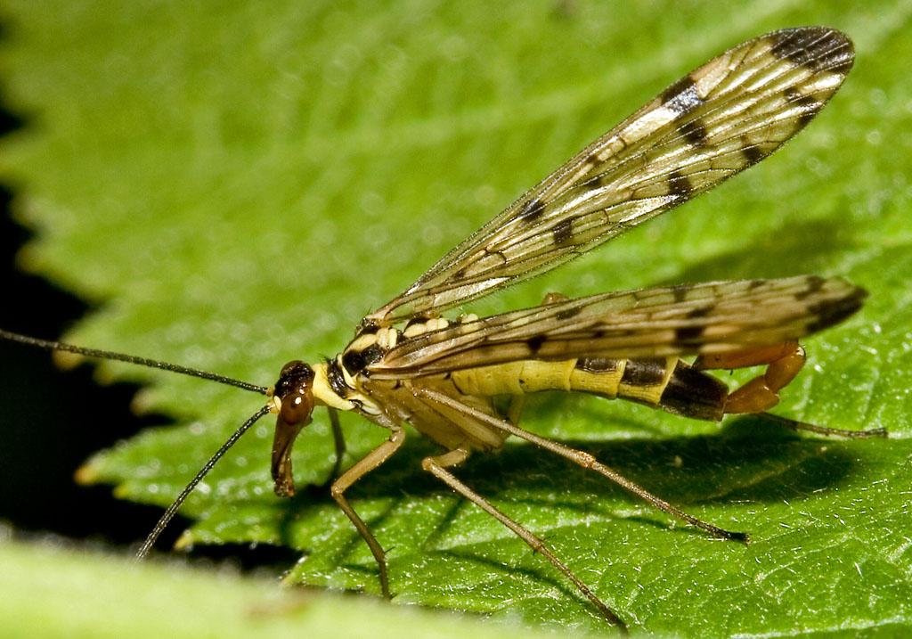 - Panorpa  germanica - Skorpionfliege - Mecoptera - Schnabelfliegen - scorpionflies