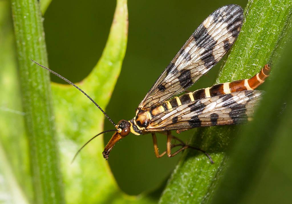Panorpa vulgaris -  - Mecoptera - Schnabelfliegen - scorpionflies