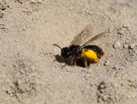 Panurgus calcaratus - Stumpfzähnige Zottelbiene -  - Apiformes - Andrenidae - Bienen - bees