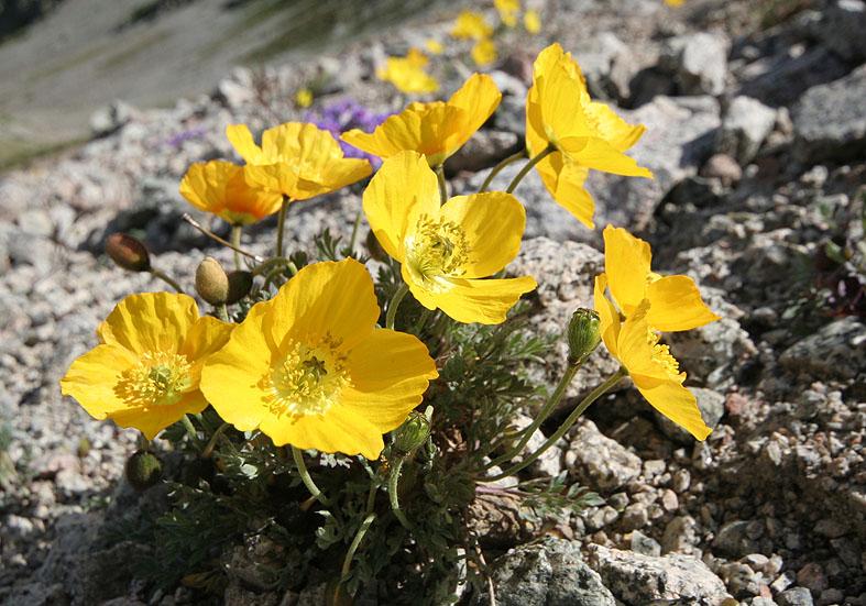 Papaver aurantiacum (Papaver alpinum) - Räthischer Alpenmohn - Fam. Papaveraceae - Felsschutt - gravel