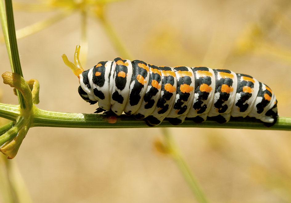 Papilio alexanor - Südlicher Schwalbenschwanz - Samos - Papilionidae - Ritterfalter - swallowtail butterfly