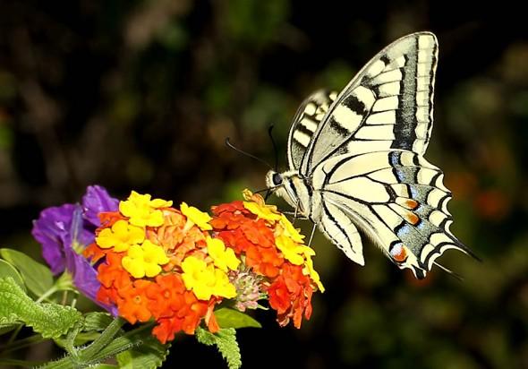 Papilio-machaon - Schwalbenschwanz - Samos - Papilionidae - Ritterfalter - swallowtail butterfly