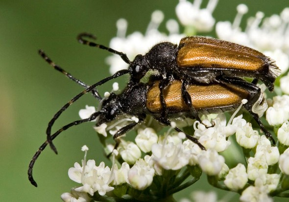 Paracorymbia maculicornis - Fleckenhörniger Halsbock - UFam. Lepturinae - Cerambycidae - Bockkäfer - long-horned beetles