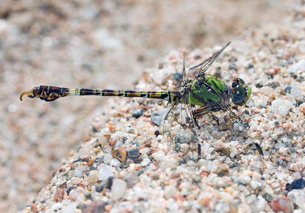 Paragomphus genei - Zwerg-Flussjungfer  - Fam. Gomphidae  -  Sardinen - Anisoptera - Großlibellen - dragonflies