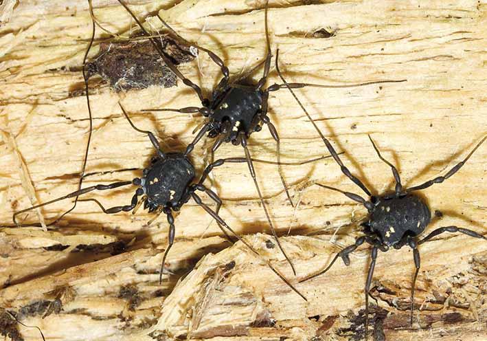Paranemastoma quadripunctatum - Fadenkanker - Fam. Nemastomatidae - Opiliones - Weberknechte - harvestmen