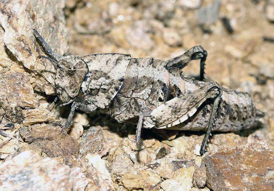 Paranocarodes  fieberi - Fam. Pamphagidae  -  Samos - Caelifera - Kurzfühlerschrecken - grasshoppers