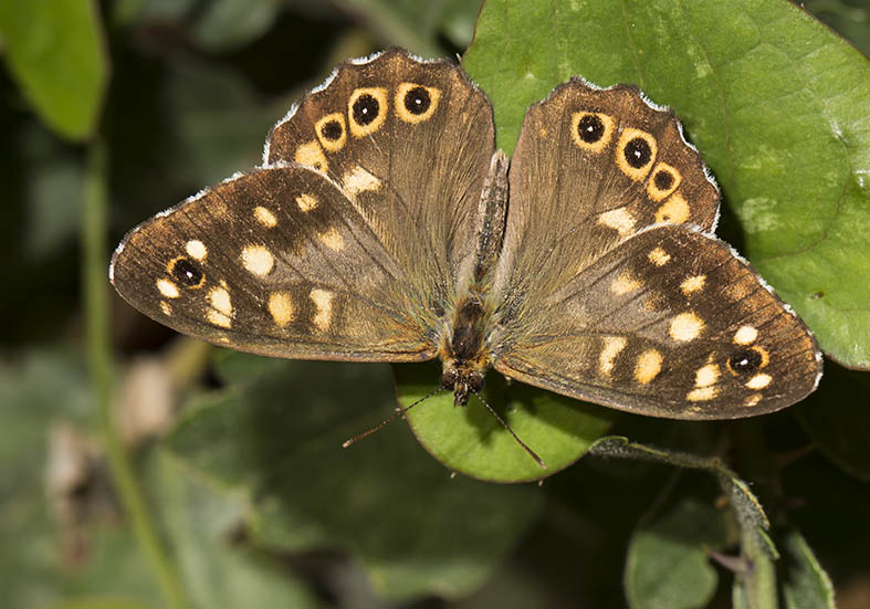 Pararge aegeria  - Waldbrettspiel  - Pilion (Griechenland) - Nymphalidae - Edelfalter - brush-footed butterflies