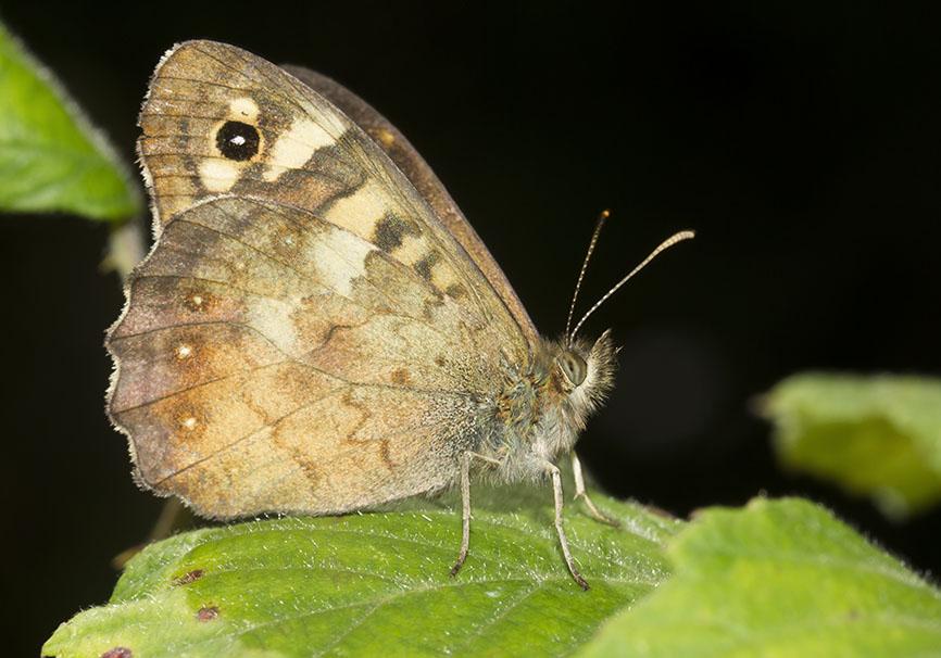 Pararge aegeria  - Waldbrettspiel - Mittelgriechenland - Nymphalidae - Edelfalter - brush-footed butterflies