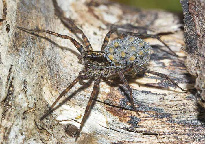 Pardosa riparia - Fa. Lycosidae - Wolfsspinnen - Araneae - Webspinnen - orb-weaver spiders
