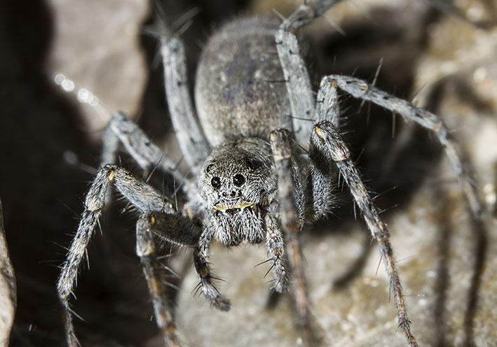 Pardosa saturatior - Fa. Lycosidae - Wolfsspinnen - Araneae - Webspinnen - orb-weaver spiders