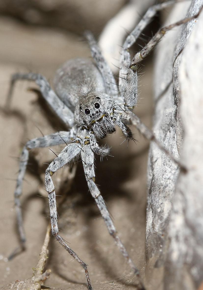 Pardosa wagleri  - Fam. Lycosidae - Wolfspinnen - Araneae - Webspinnen - orb-weaver spiders