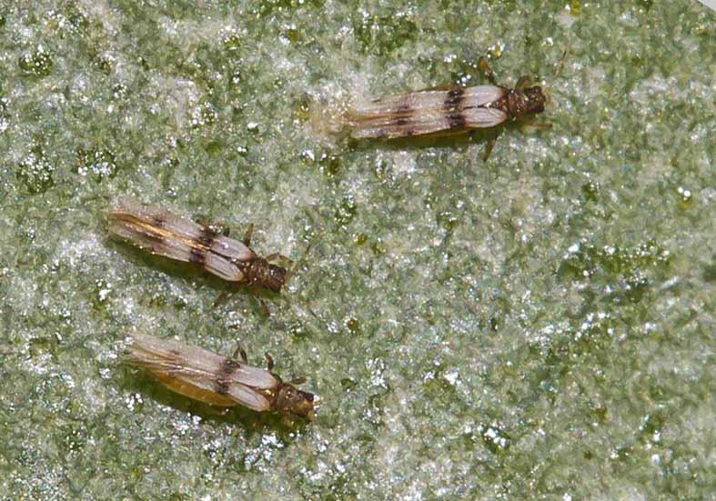 Parthenothrips dracaenae - Palmen-Thrips -  - Thysanoptera - Fransenflügler