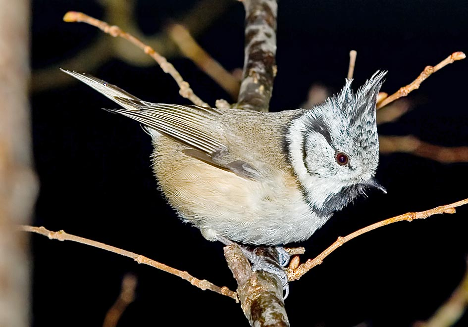 Parus cristatus - Schopfmeise  Haubenmeise - Crested tit -  - Passeres - Singvögel - songbirds