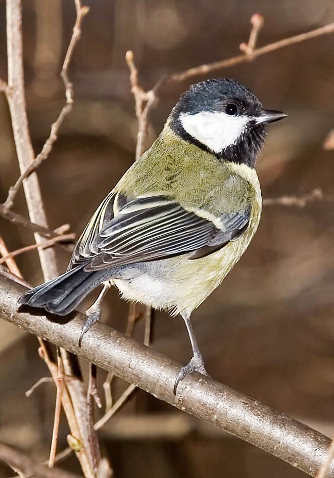 Parus major - Kohlmeise - Great tit -  - Passeres - Singvögel - songbirds