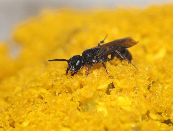 Passaloecus corniger -  - Spheciformes - Grabwespen - thread-waisted wasps