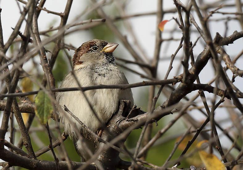 Passer domesticus - Haussperling -  - Passeres - Singvögel - songbirds