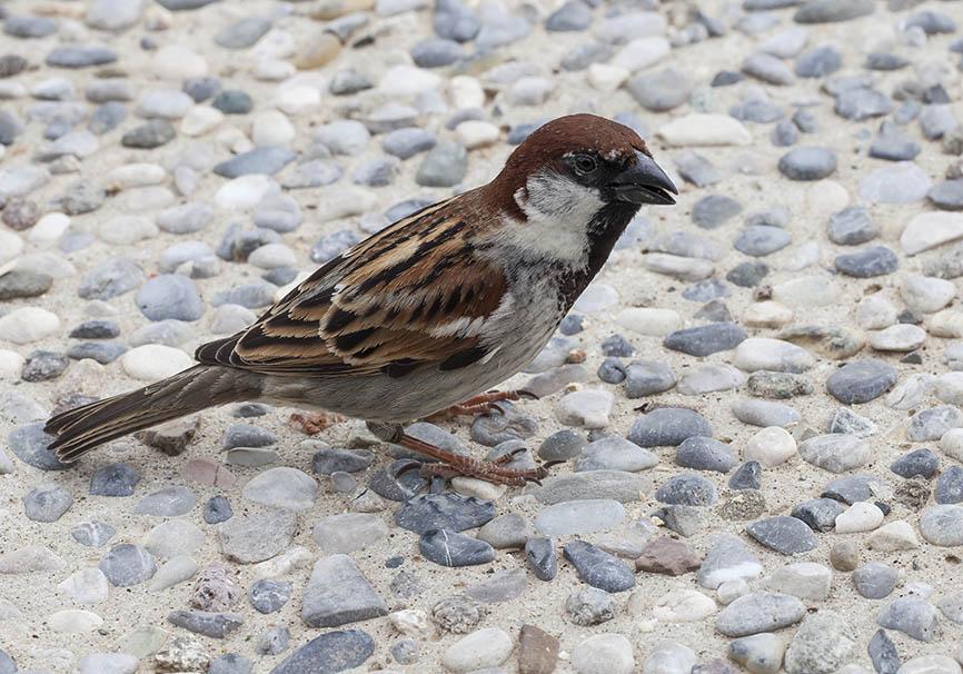 Passer italiae- Italiensperling - Gardasee - Passeres - Singvögel - songbirds