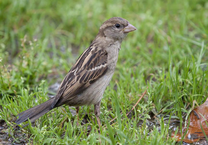 Passer italiae - Italiensperling - Gardasee - Passeres - Singvögel - songbirds