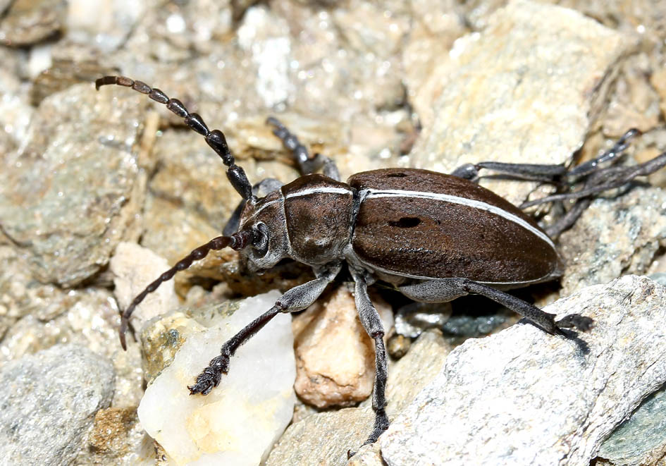 Pedestredorcadion sp. - UFam. Lamiinae   -  Andros - Cerambycidae - Bockkäfer - long-horned beetles