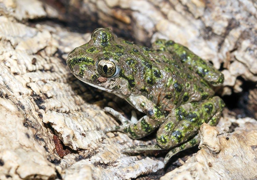 Pelodytes punctatus  -  Westlicher Schlammtaucher - Fam. Pelodytidae  (Schlammtaucher) -   Alpenzoo - Andere Amphibien - other amphibians