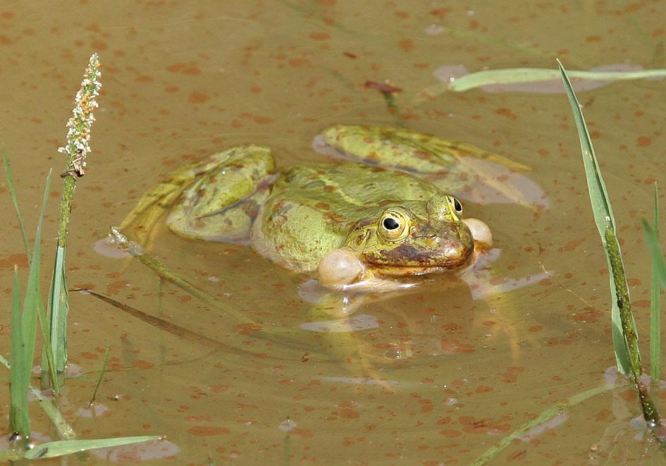 Pelophylax (Rana) lessonae-esculenta - Wasserfrosch -  - Ranidae - Frösche - frogs