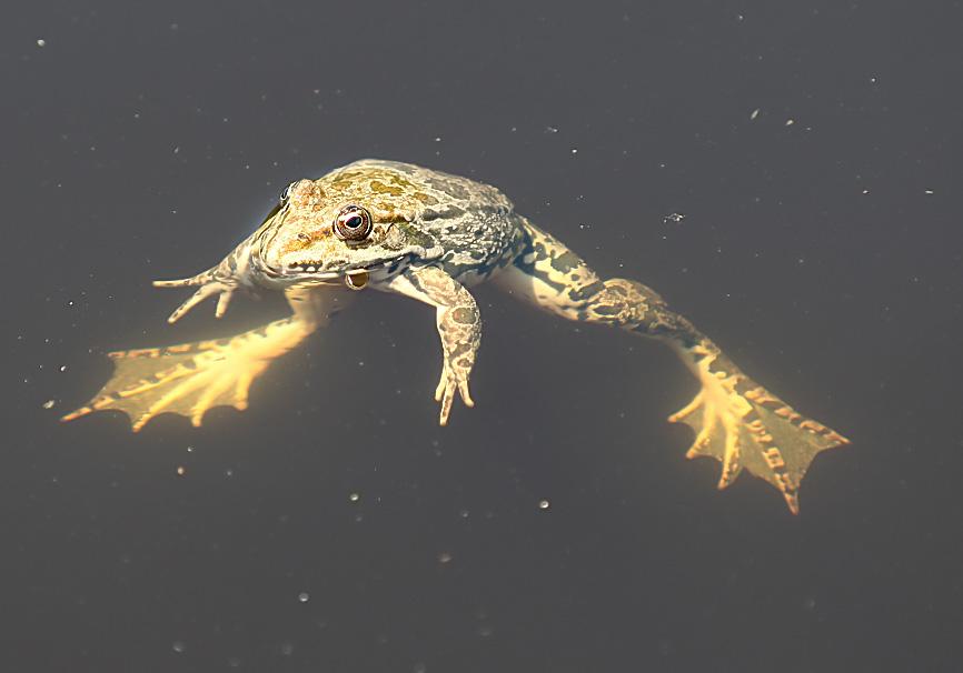 Pelophylax bedriagae  -  Kleinasiatischer Seefrosch - Lesbos - Ranidae - Frösche - frogs