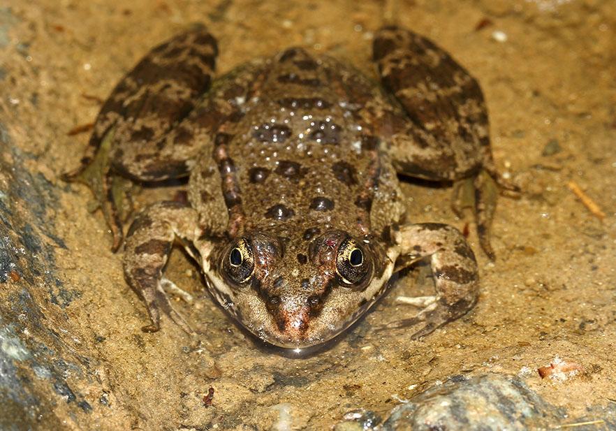 Pelophylax kurtmuelleri - Balkan-Wasserfrosch - Naxos - Ranidae - Frösche - frogs