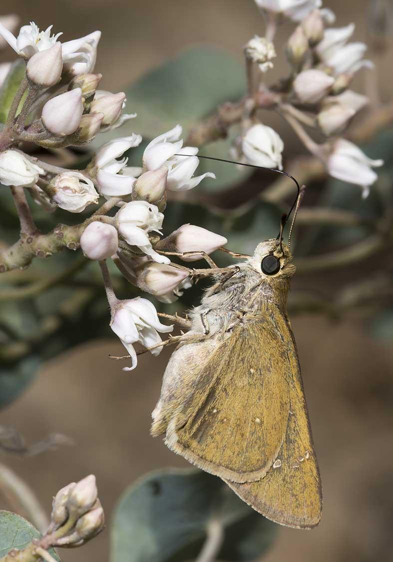 Pelopidas thrax - Kos - Riodinidae (Würfelfalter) - Hesperiidae (Dickkopffalter)