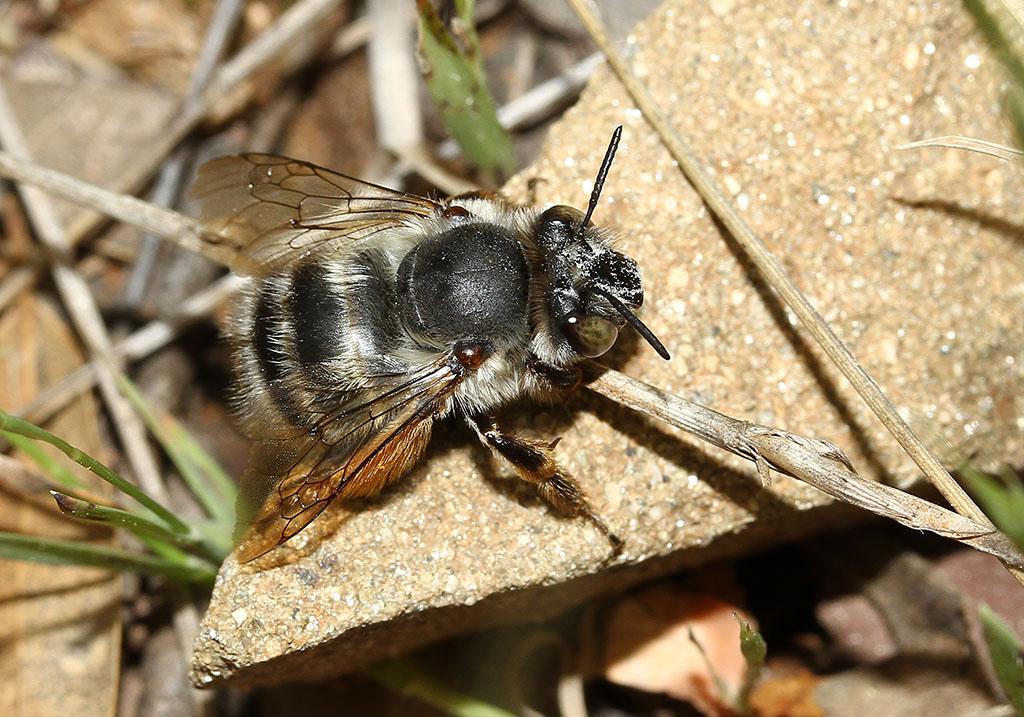 Anthophora sp. - Pelzbiene -  (Toscana) - Apidae - Bienen - bees