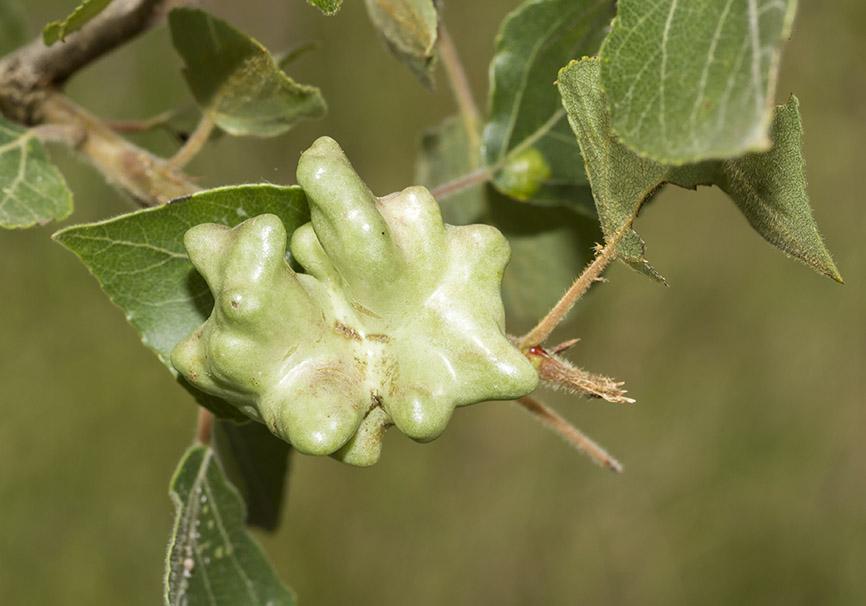 Pemphigus vesicarius - Fam- Aphidae  -  Zagori - Epirus Populus sp. - Sternorrhyncha - Pflanzenläuse