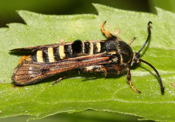 Pennisetia hylaeiformis - Himbeerglasflügler - Fam. Sesiidae - Glasflügler -