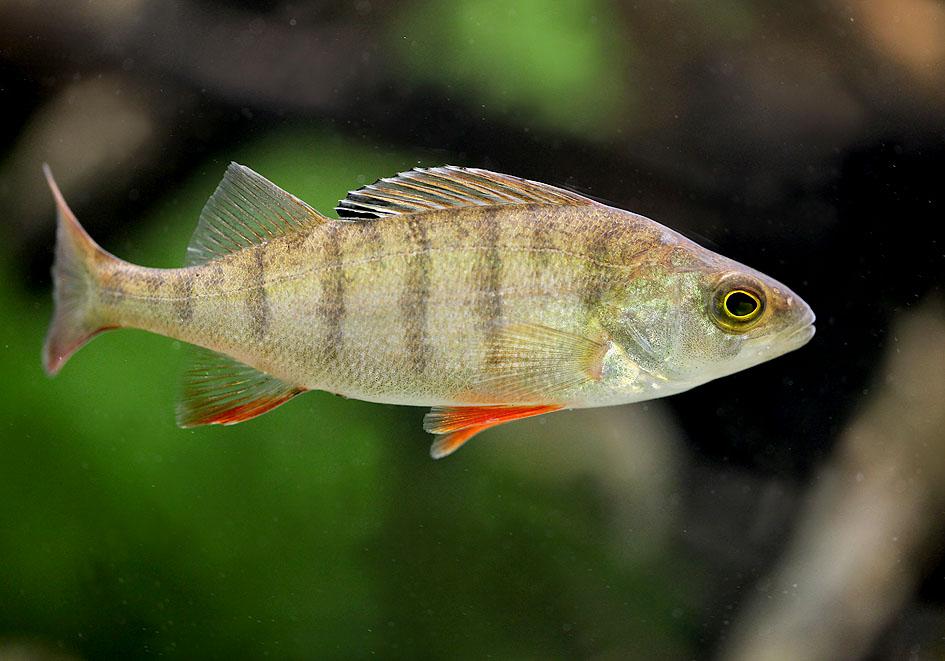 Perca fluviatilis - Flussbarsch - Alpenzoo - Perciformes - Barschartige