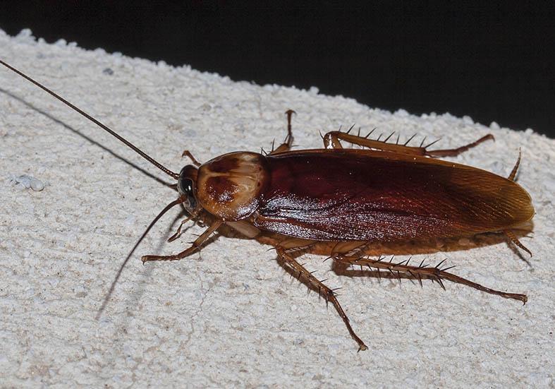 Periplaneta americana - Amerikanischen Schabe - Tilos (Griechenland) - Blattodea - Schaben - Cockroaches