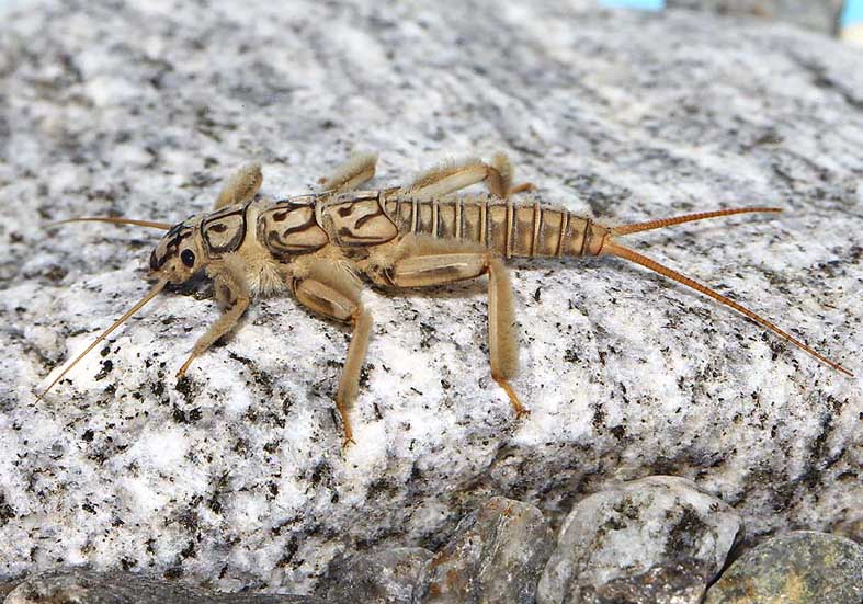Perla sp. - Plecoptera - Steinfliege -  - Plecoptera - Steinfliegen - Stoneflies