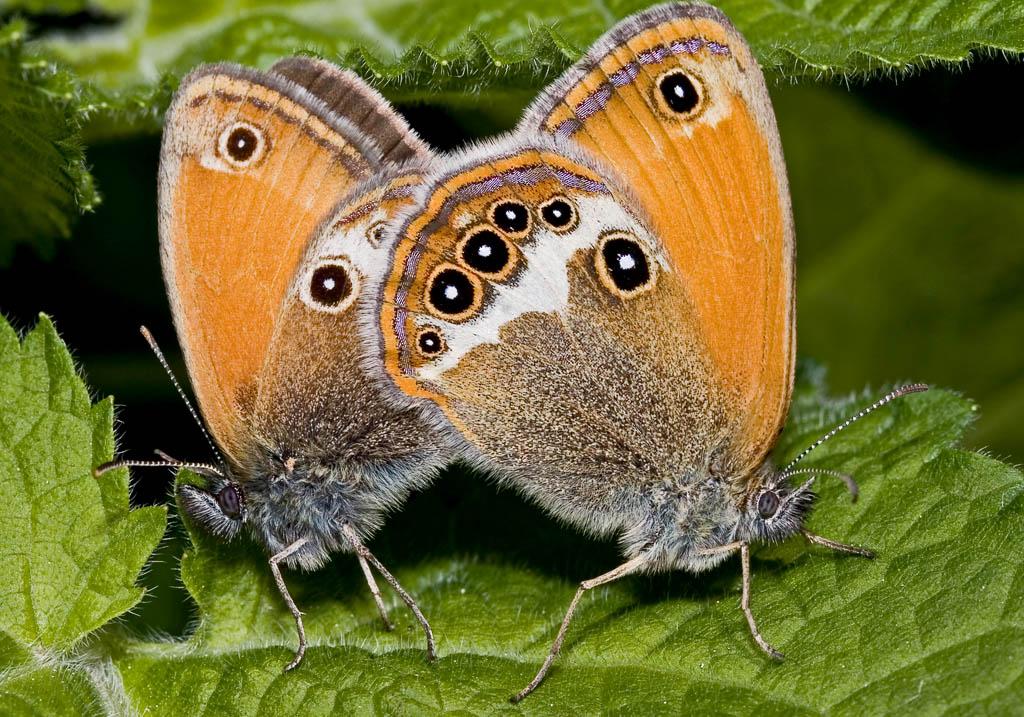Coenonympha arcania - Perlgrasfalter (Weißbindiges Wiesenvögelchen) -  - Nymphalidae - Edelfalter - brush-footed butterflies