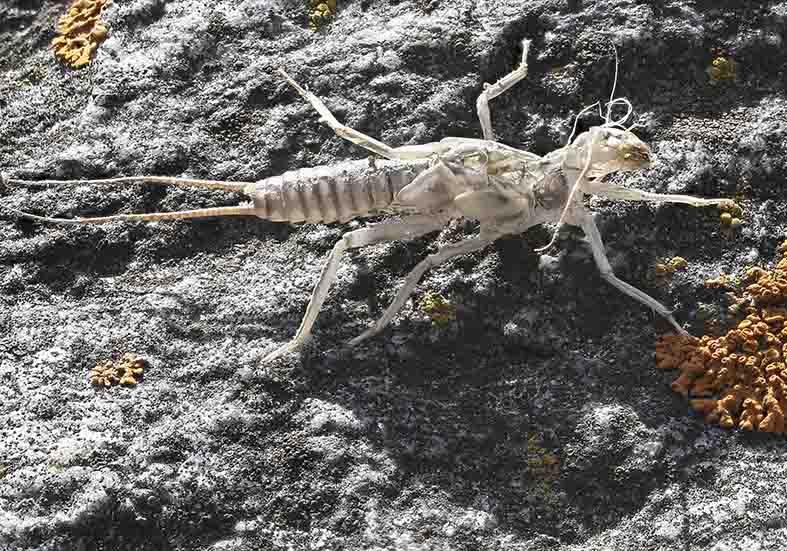 Perlodes microcephalus - Exuvie - Plecoptera - Steinfliegen - stoneflies