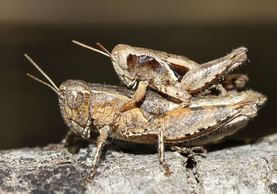 Pezotettix giornae  - Kleine Schnarrschrecke - Fam. Acrididae/Catantopinae  -  Korfu - Caelifera - Kurzfühlerschrecken - grasshoppers